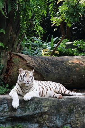 tigre blanc: tigre blanc reposant sur un rocher, les yeux dans l'avenir