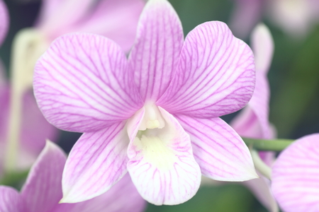 pink stripes: Dendrobium Pink Stripes Orchid in full bloom Stock Photo
