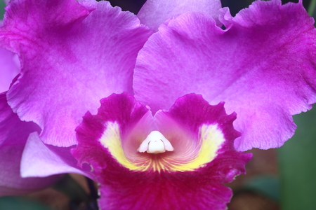 sepal: Purple orchid with large sepal in full bloom Stock Photo