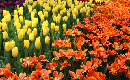 mania: Tulips Pako and Strong Yellow in full bloom