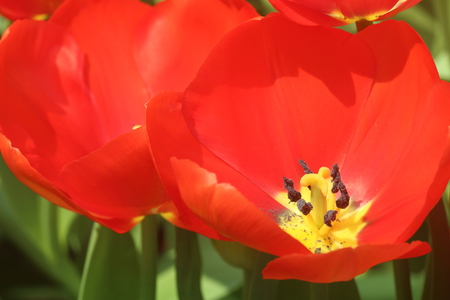 anther: Close up of an orange panic tulip flower in full bloom, showing the stigma and anther Stock Photo
