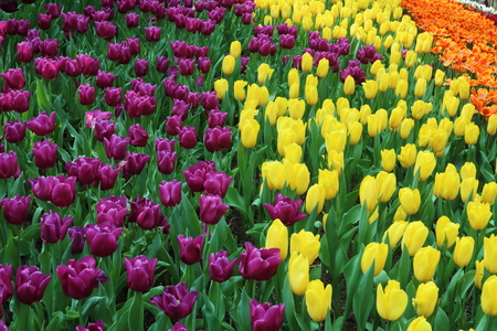 blooming  purple: Field of purple, yellow and orange tulips in various stages of blooming