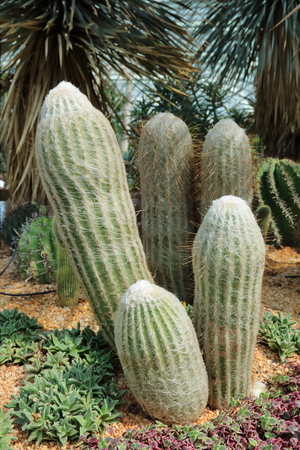 eudicots: Cultivated cacti in an extremely dry environment