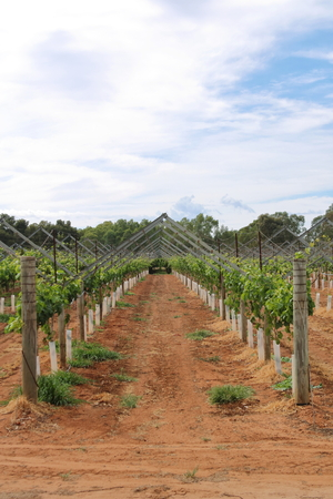 uniformity: Grapevine plantation in Swan Valley in Western Australia Stock Photo
