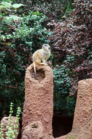 herpestidae: A Meerkat standing on sentry duty, turning its head to look up to the sky