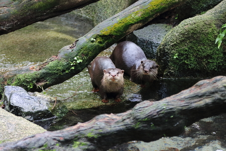 small clawed: A pair of Asia small clawed otters at a small water stream Stock Photo