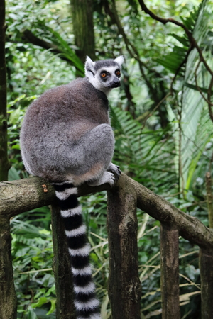 ring tailed: Ring tailed Lemur on a forest trail