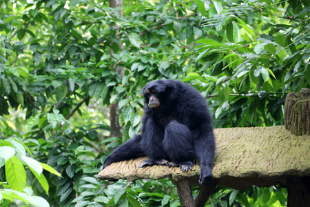 siamang: Siamang, also known as lesser ape, is resting in a rainforest Stock Photo