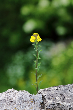 feeble: Yellow wild flower growing from the crack of a stone wall, blooming beautifully Stock Photo