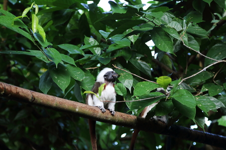 mouthful: Cotton-Top Tamarin having a mouthful of food resting on a tree Stock Photo
