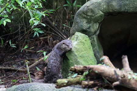 clawed: Asia Small Clawed otter scratching its body against a rock