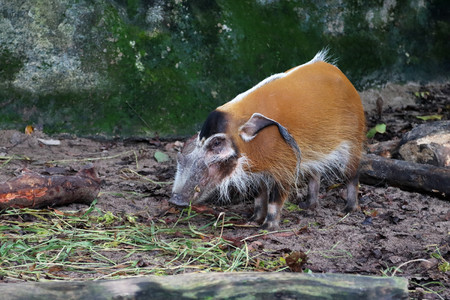 bush hog: Red river hog, also known as Bush Pig, chewing some grass Stock Photo