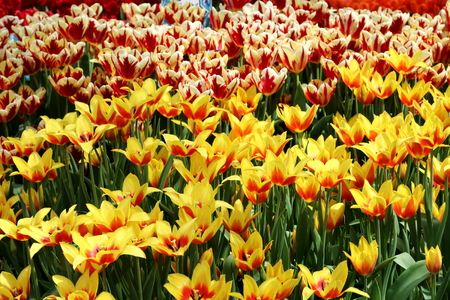 mania: Yellow and red colored Tulip Synaeda King with tulip grand perfection in the background