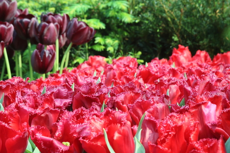 mania: Red tulip carola in full bloom, with tulip black jack flower bulbs in the background