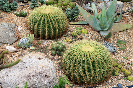 clustered: Cultivated Barrel Cacti in a desert landscape setting Stock Photo
