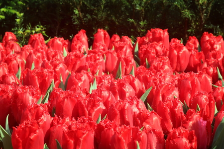 Red tulip flower bulbs about to bloom Stock Photo
