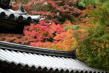 Red maple leaves, typical of Autumn foliage, in Japans ancient capital Nara