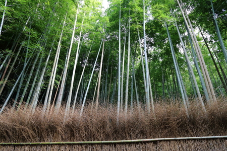 Arashiyama Bamboo grove in Saga-Arashiyama area, Kyoto, Japan Stock Photo