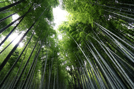 Arashiyama Bamboo grove at Saga-Arashiyama area in Kyoto, Japan