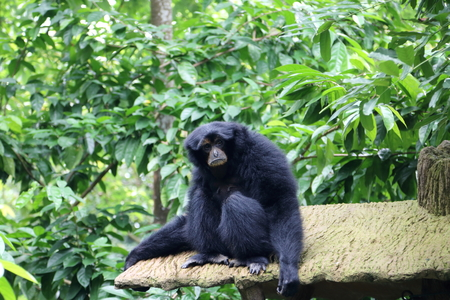 Siamang, also known as lesser ape, lives in South East Asia