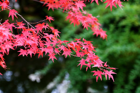 Japanese maple leaves turning red at the change of season from Summer to Autumn in Kyoto, Japan