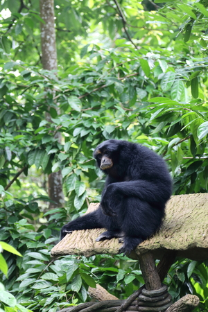 Black colored Siamang, also known as lesser ape, a special species which exists only in South East Asia Stock Photo
