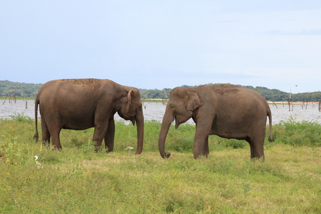 Two wild elephants standing face to face, swing their trunks at Kaudulla National Park, Sri Lanka Stock Photo