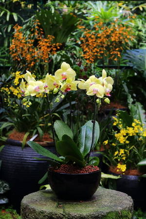 Pot of yellow Moth Orchid blooming in a mist house