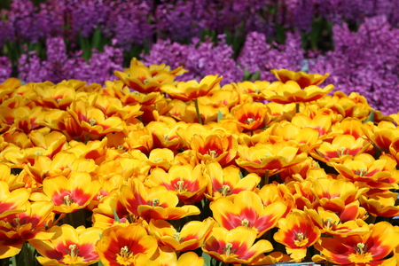 Yellow and red Tulip Kees Nelis in full bloom Stock Photo