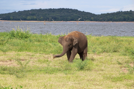 A baby elephant grabbing some grass with its trunk at Kaudulla National Park, Sri Lanka