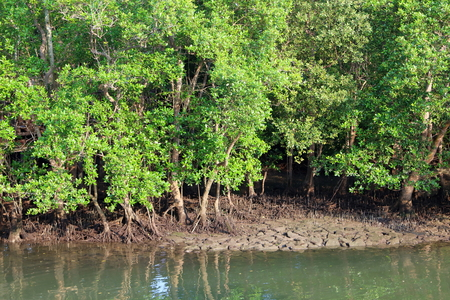Mangrove Forest in the inter-tidal zone before high tide at Sungei Buloh Nature Reserve, in Singapore
