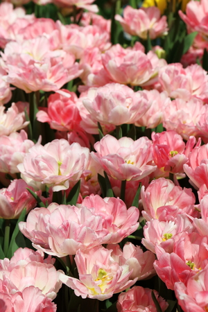 Pink Tulip Fox Trot flowers  in full bloom Stock Photo