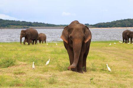 Elephants wandering freely in Kaudulla National Park, Sri Lanka