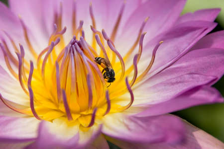 absorb: Bee absorb the pollen of Lotus closeup