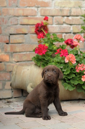 LABRADOR RETRIEVER DOG PUPPY photo