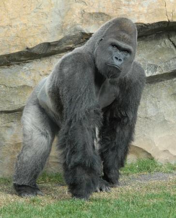 gorilla: masculina de gorila col bioparc di valencia, Espa�a Foto de archivo