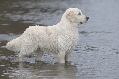 rive: golden retriever jumping in the water