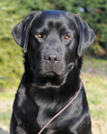 portrait of black Labrador Retriever photo