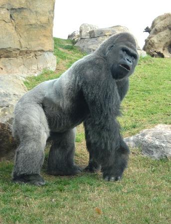 fale: male of gorilla in bioparc di valencia, spain Stock Photo