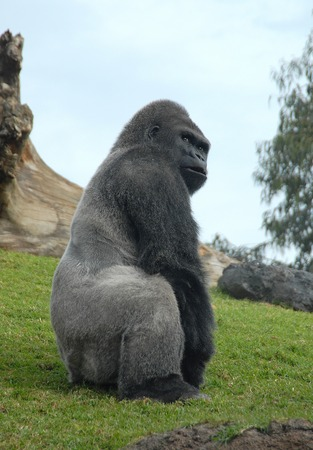 fale: male of gorilla in bioparc di valencia, spain Stock Photo