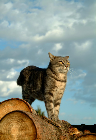 prowling: Domestic cat looking at the camera still