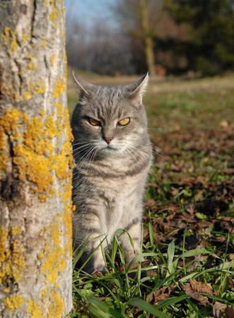 gato atigrado: atigrado gato