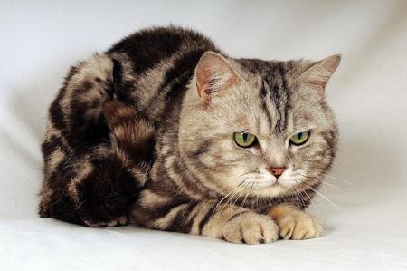 crouched: British Shorthair