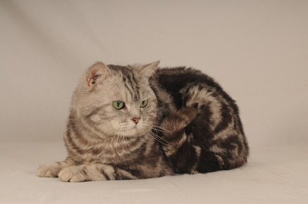 british shorthair: BRITISH SHORTHAIR