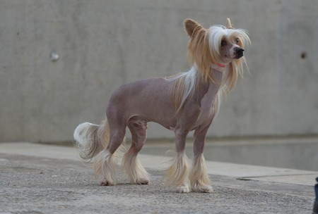 hair tuft: chinese crested dog