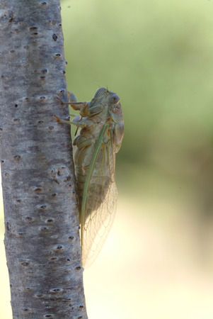 volatile: cicada