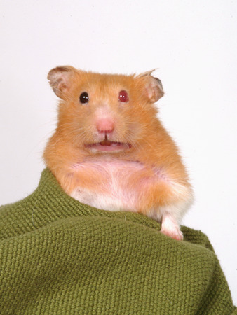 animal only: hamster