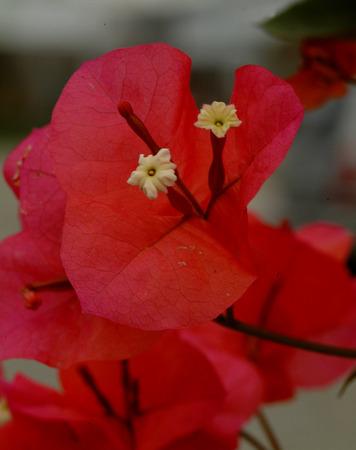 color bougainvillea: bougainvillea Stock Photo