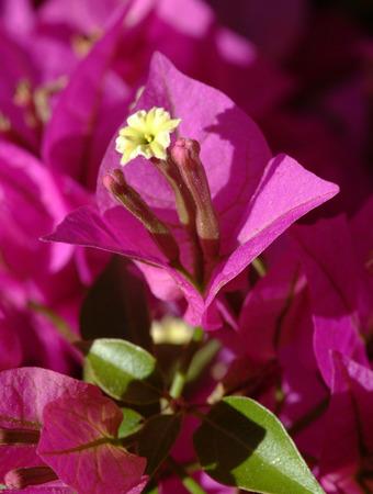 color bougainvillea: Bouganville