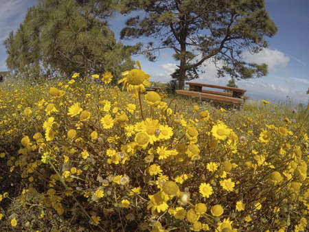 yellow field of wildflowers with a wooden bench in the background and blue sky. Zdjęcie Seryjne